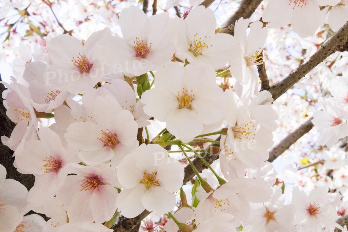 桜の散り時